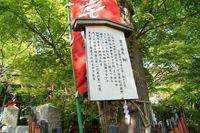 京の名木 梛