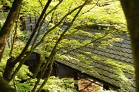 三鈷の松(永観堂禅林寺)